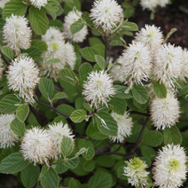 Fothergilla major 11