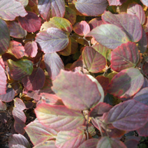 Fothergilla major 15