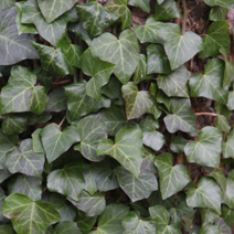 Hedera helix 'Thorndale' 2