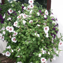 Hibiscus syriacus 'Red Heart' 3