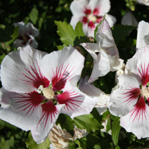 Hibiscus syriacus 'Red Heart' 2