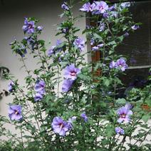 hibiscus syriacus 39 blue bird 39 rose of sharon 39 blue bird. Black Bedroom Furniture Sets. Home Design Ideas