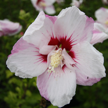 Hibiscus syriacus 'Pinky Spot' PBR 9