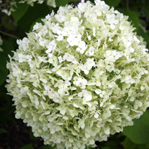 Hydrangea arborescens 'Incrediball' PBR 5