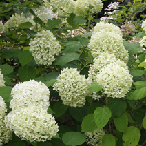 Hydrangea arborescens 'Incrediball' PBR 7