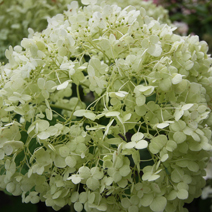 Hydrangea arborescens 'Incrediball' PBR 8