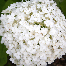 Hydrangea arborescens 'Incrediball' PBR 4