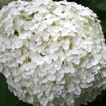 Hydrangea arborescens 'Incrediball' PBR 9