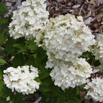 Hydrangea paniculata 'Magical Moonlight' 1