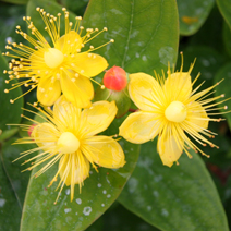Hypericum inodorum 'Magical Beauty' ® PBR