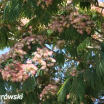 Albizia julibrissin 'Red Silk' 2