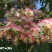 Albizia julibrissin 'Red Silk' 1