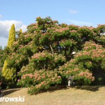 Albizia julibrissin 'Red Silk' 4
