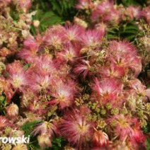 Albizia julibrissin 'Red Silk' 3