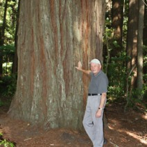Sequoia sempervirens 5