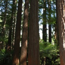 Sequoia sempervirens 9