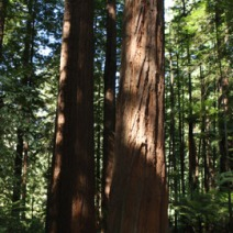 Sequoia sempervirens 6