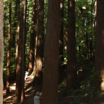 Sequoia sempervirens 7