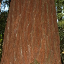 Sequoia sempervirens 11