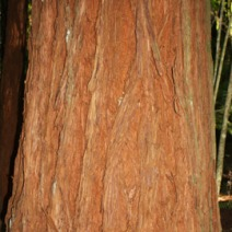 Sequoia sempervirens 10