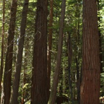 Sequoia sempervirens 8