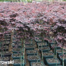 Loropetalum chinense 'Burgundy' 2