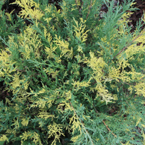 Juniperus x pfitzeriana 'Blue and Gold' (J. media 'Blue and Gold') 2