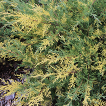 Juniperus x pfitzeriana 'Blue and Gold' (J. media 'Blue and Gold')