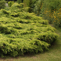 Juniperus x pfitzeriana 'Gold Star' (J. media 'Gold Star') 6