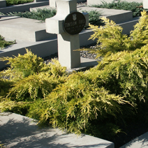 Juniperus x pfitzeriana 'Gold Star' (J. media 'Gold Star') 5