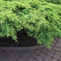 Juniperus x pfitzeriana 'Gold Star' (J. media 'Gold Star') 8
