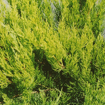 Juniperus x pfitzeriana 'Mint Julep' (J. media 'Mint Julep') 5