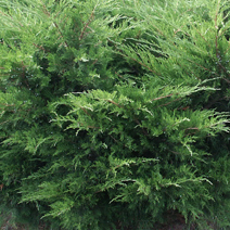 Juniperus x pfitzeriana 'Mint Julep' (J. media 'Mint Julep')