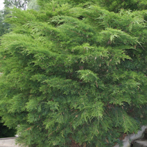 Juniperus x pfitzeriana 'Mint Julep' (J. media 'Mint Julep') 4