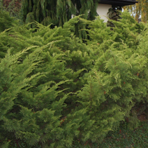 Juniperus x pfitzeriana 'Old Gold' (J. media 'Old Gold') 2