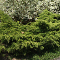 Juniperus x pfitzeriana 'Old Gold' (J. media 'Old Gold') 4