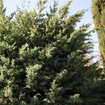 Juniperus chinensis 'Blue Alps' 1