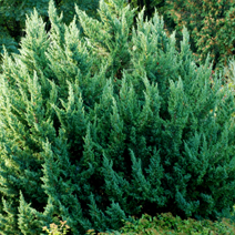 Juniperus chinensis 'Monarch' 1