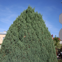 Juniperus chinensis 'Stricta' 3