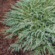 Juniperus communis 'Green Carpet' 4