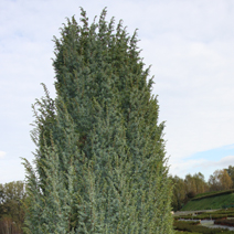 Juniperus communis 'Meyer' 2