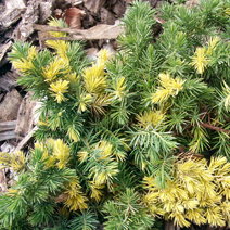 Juniperus conferta 'Golden Wings' 1