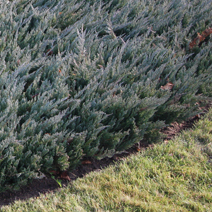 Juniperus horizontalis 'Blue Chip' 6