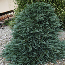 Juniperus horizontalis 'Blue Chip' 7