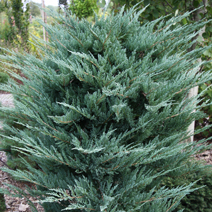 Juniperus horizontalis 'Blue Chip' 4