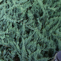 Juniperus horizontalis 'Blue Chip' 1
