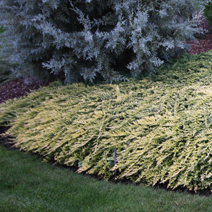 Juniperus horizontalis 'Golden Carpet' 4