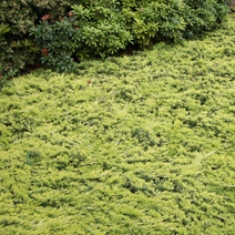 Juniperus horizontalis 'Golden Carpet' 1