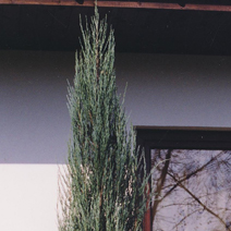 Juniperus scopulorum 'Skyrocket' 5