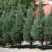Juniperus scopulorum 'Skyrocket' 1